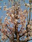 啓翁桜(けいおうざくら)